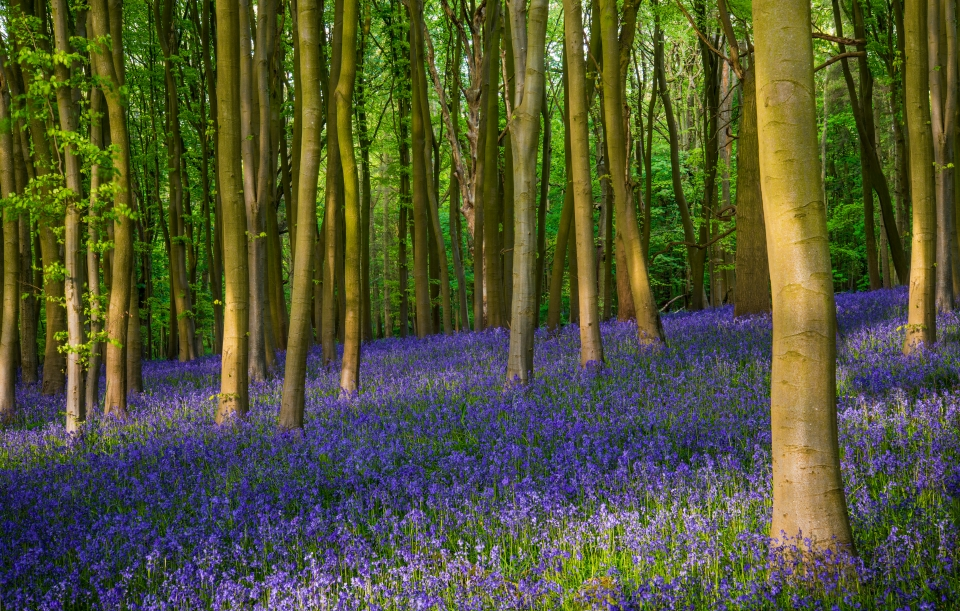 Angleterre : Ashridge Wood