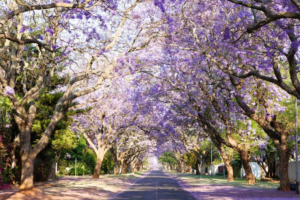 Allée de Jacarandas, Johannesburg, Afrique du Sud