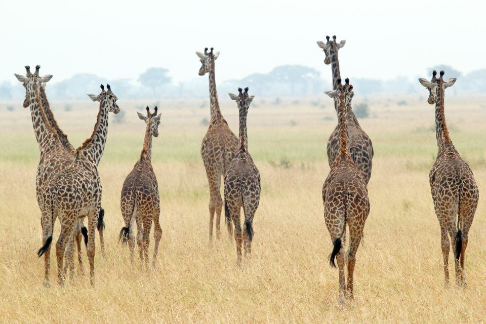 Las jirafas caminando a través del Parque Nacional Serengueti