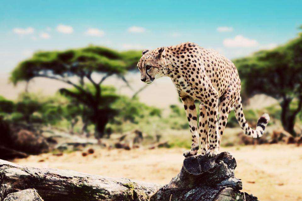 Un guepardo que corre feloz