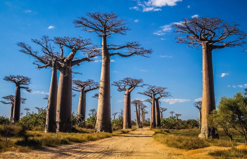 Die Affenbrotbaumallee in Madagaskar