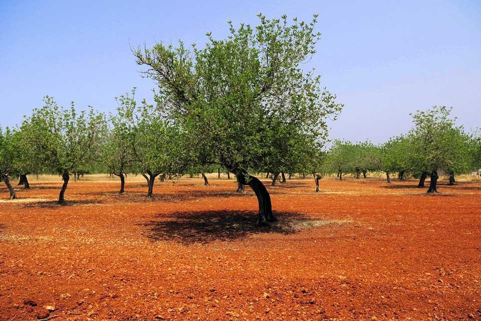 Las sierras del norte de Ibiza, Los paisajes, Campo de olivos, Baleares