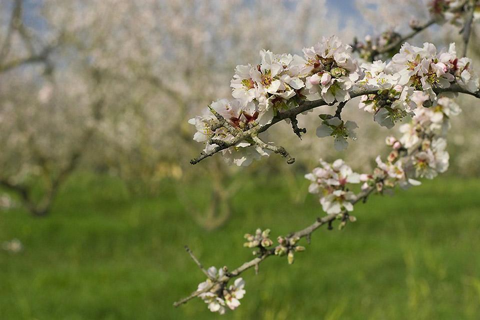 La flora , Flor de almendro , España