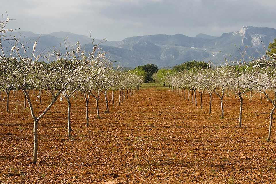 La flora , Un campo de almendros , España