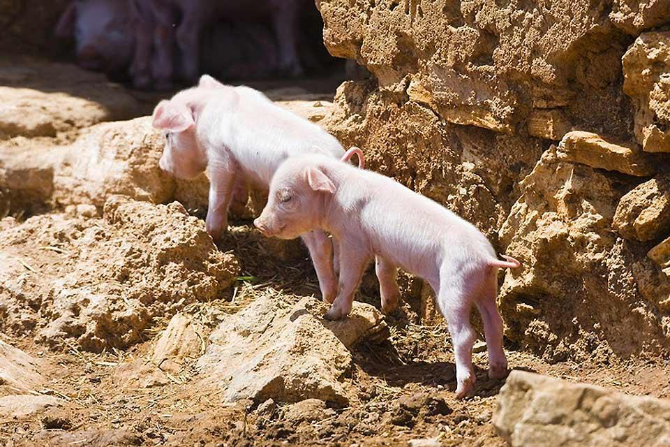 The fauna , Two piglets in the Balearic Islands , Spain