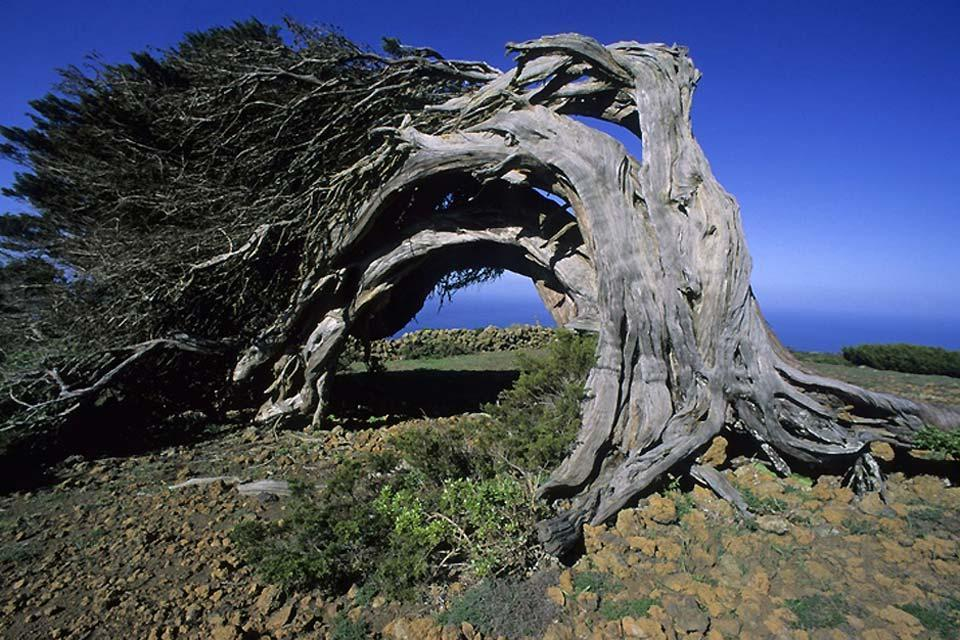Gran Canaria , Ghost-like trees , Spain