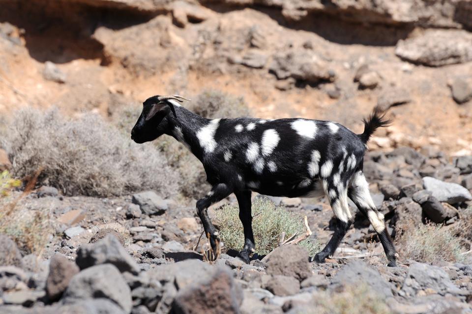 La fauna , Una cabra en Fuerteventura , España