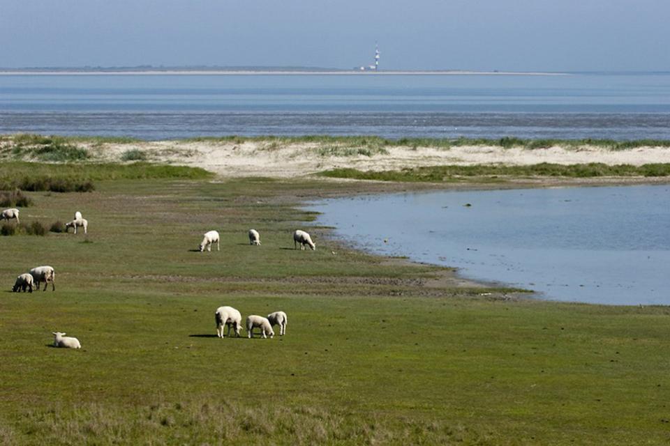 Die Nordsee , Schafe am Wattenmeer , Deutschland
