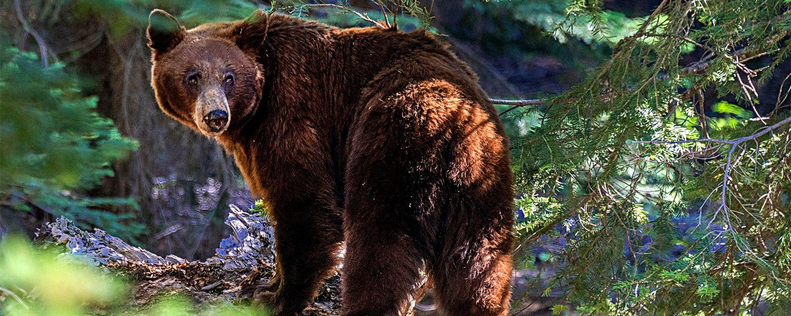 La faune , L'ours brun , Etats-Unis