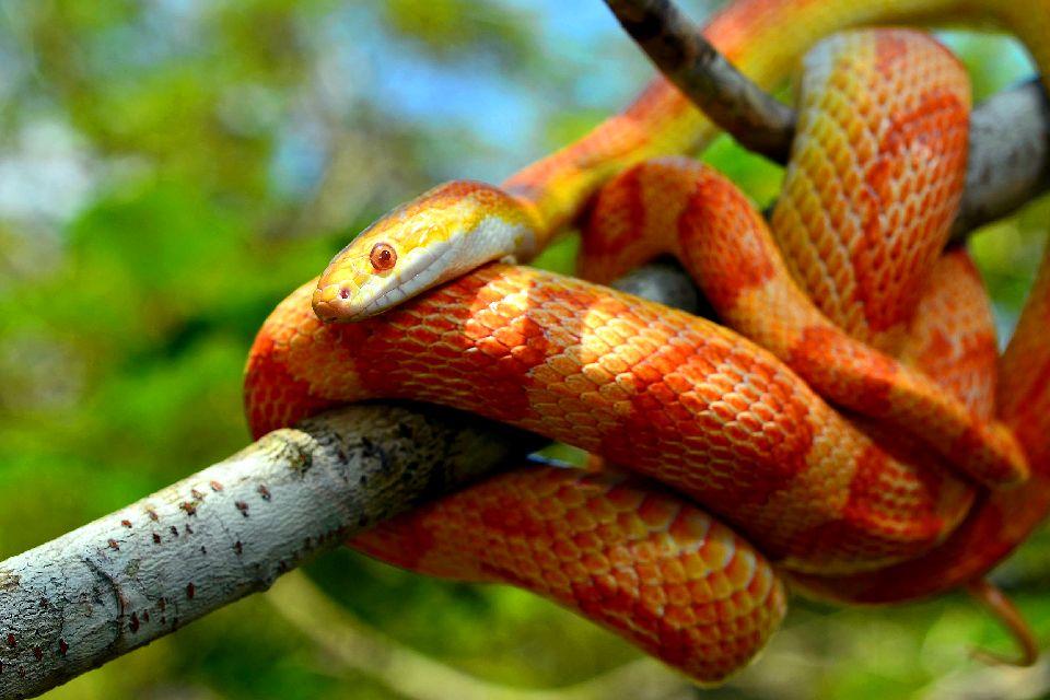 La fauna , L'elaphe guttata, rat snake , Stati Uniti
