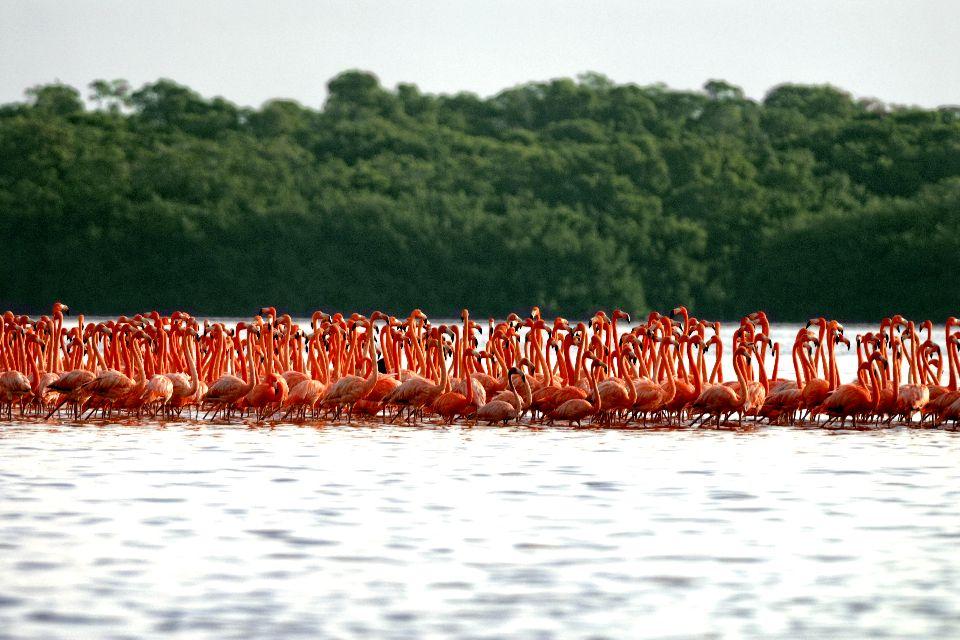 La fauna , Fenicottero rosso , Stati Uniti