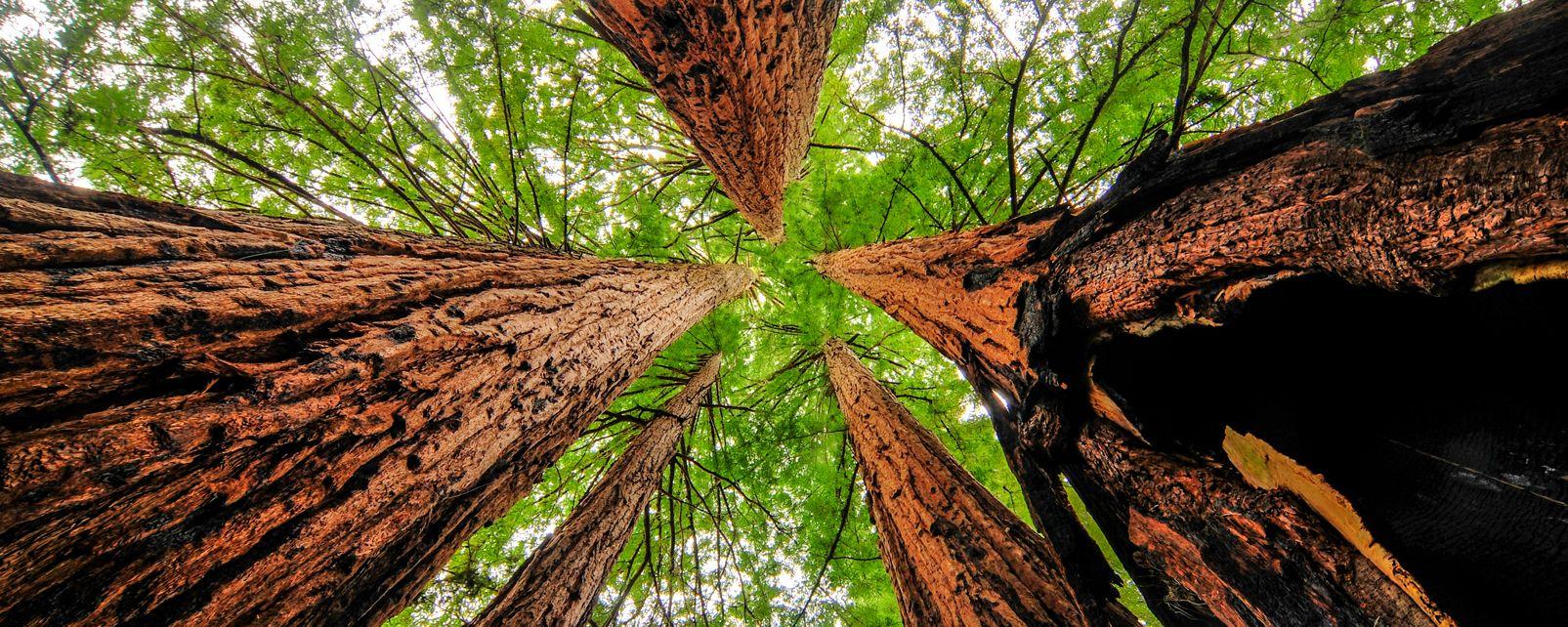 Les séquoias géants , Etats-Unis