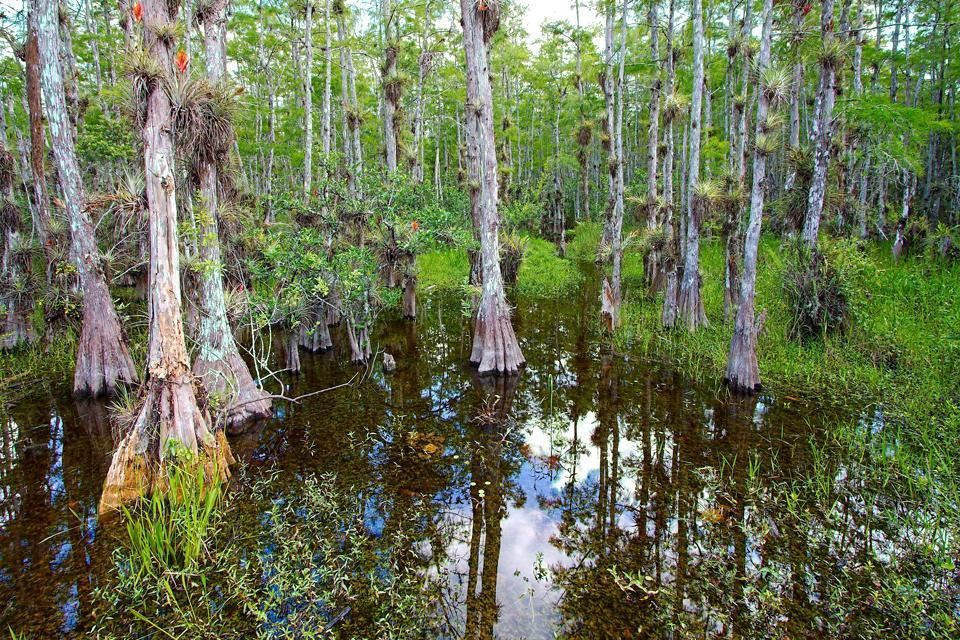 The Everglades , The swamlands of the Everglades, Florida , United States of America