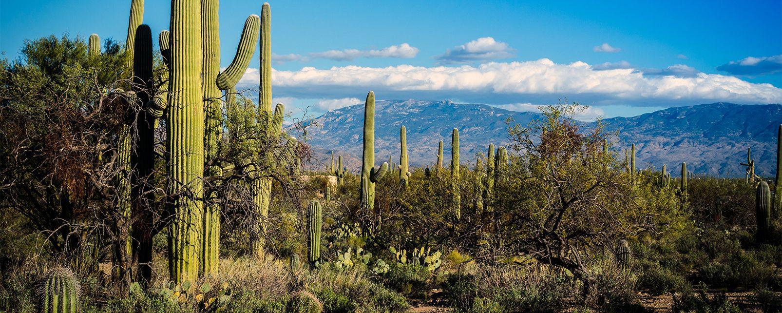 Les cactus du Saguaro National Monument , Cactus dans le parc national de Saguaro , Etats-Unis