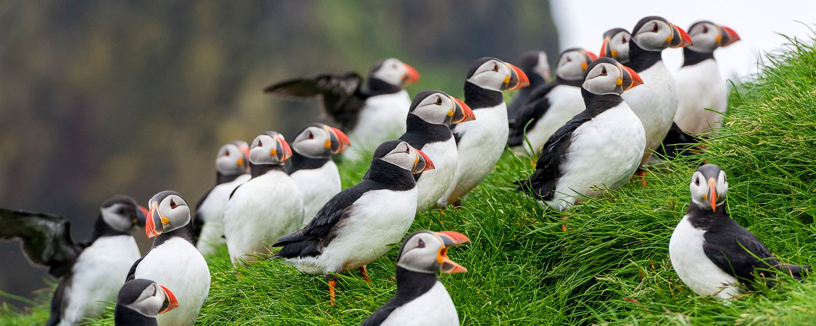 Vögel , Die Unterwasserfauna der Feroe-Inseln , Färöer