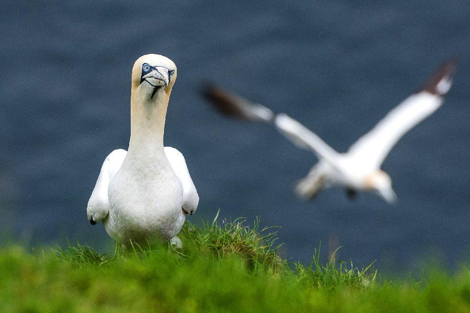 Vögel , Ein Vogelschwarm , Färöer