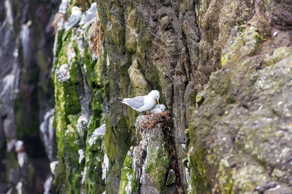 Vögel , Ein Alkenvogel im Flug , Färöer