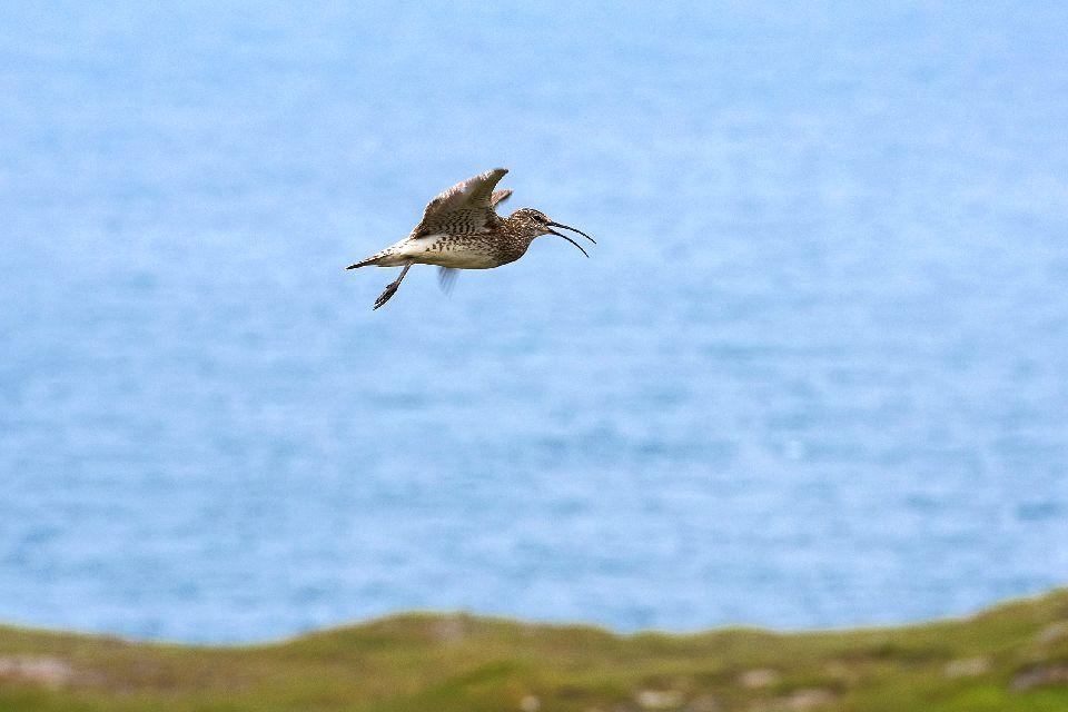 Vögel , Ein Austernfischer , Färöer