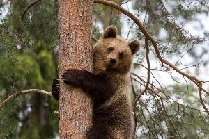 La faune , L'ours brun, symbole finlandais , Finlande