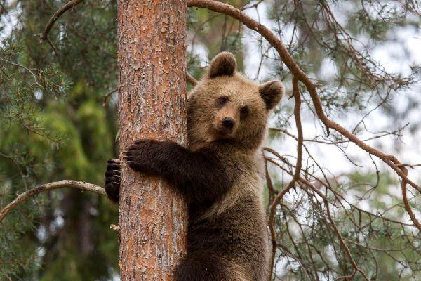 La fauna , L'orso bruno, simbolo finlandese , Finlandia
