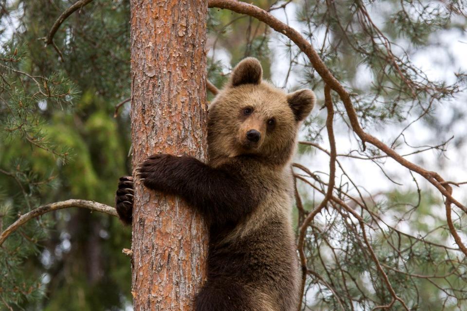 Die Tierwelt , Der Braunbär, das Wahrzeichen Finnlands , Finnland