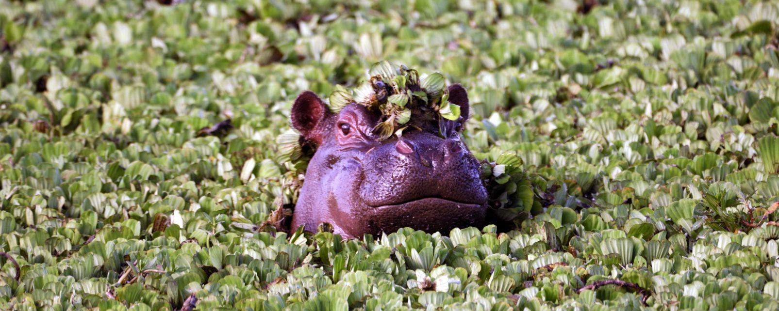 La faune et la flore, gabon, afrique, faune, animal, mammifère, hippopotame, pachyderme