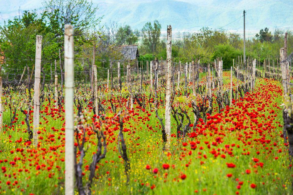 Le vignoble de Kakheti , Les vignes de Kakheti , Géorgie