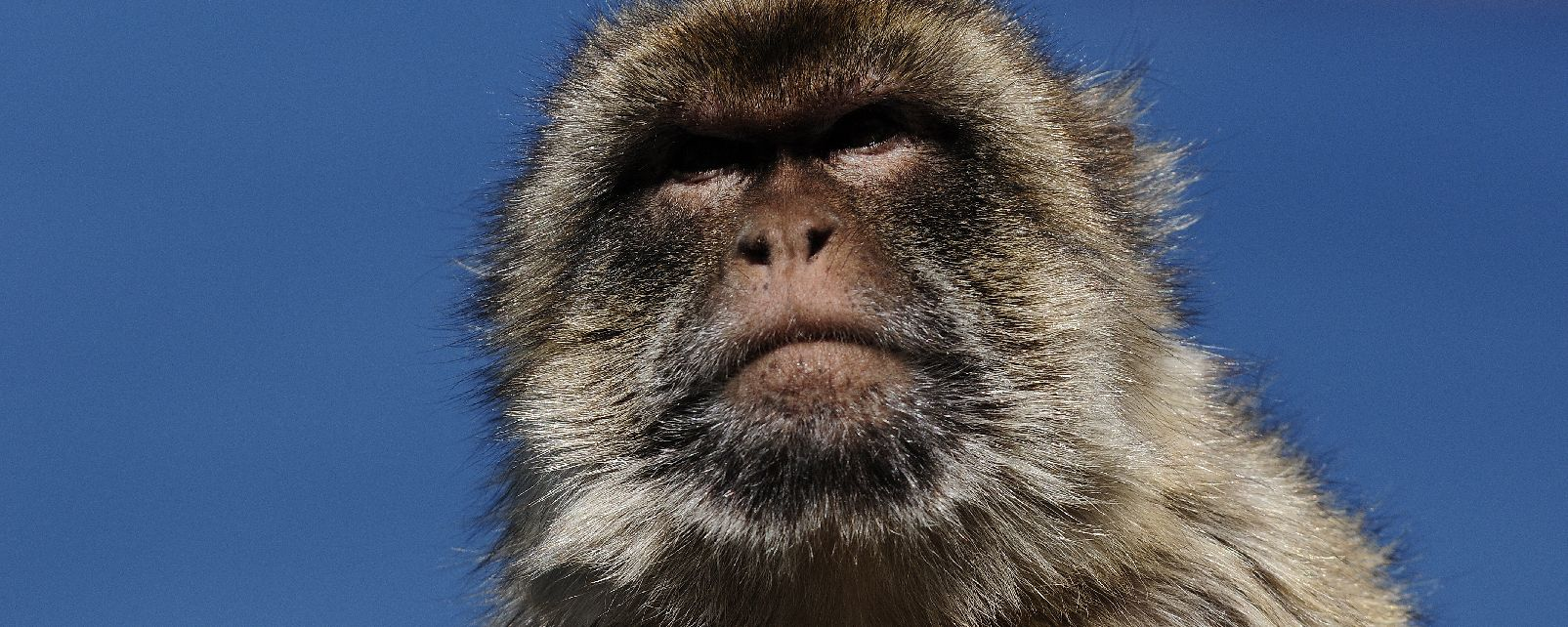 Magot monkeys , The Barbary Macaque , Gibraltar