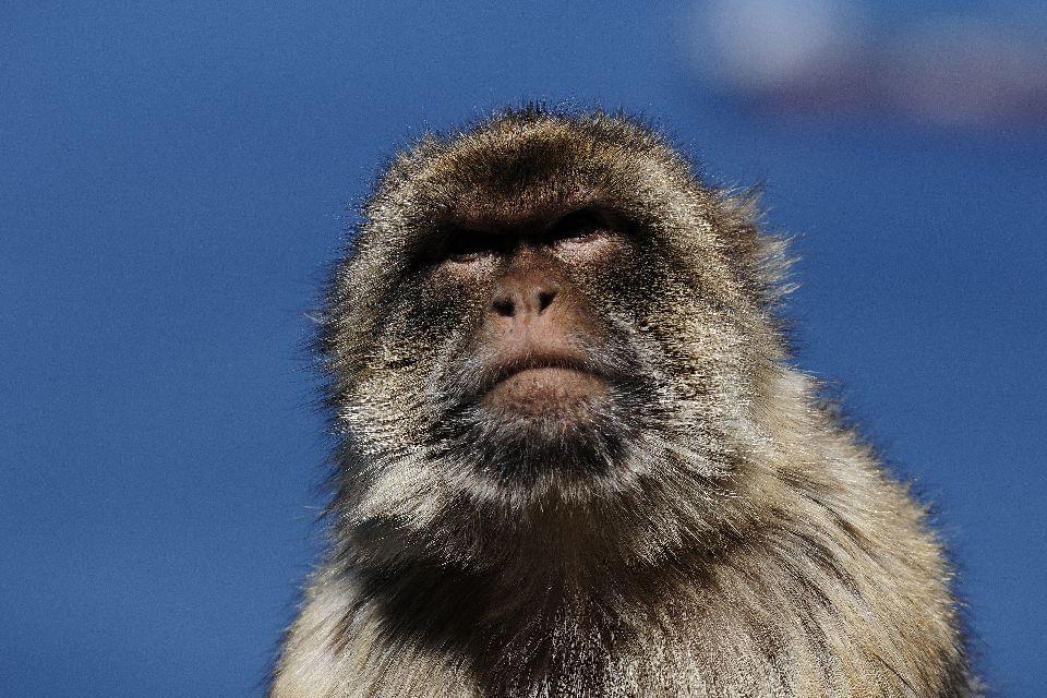 Los monos de Gibraltar , Los monos magots , Gibraltar
