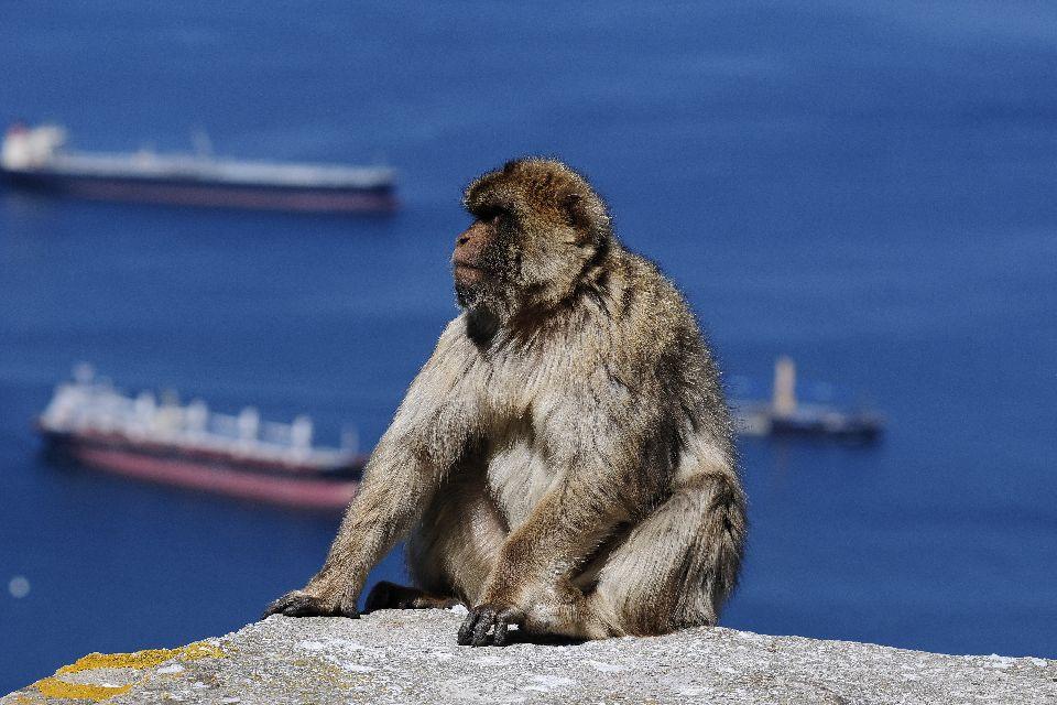 Magot monkeys , Gibraltar
