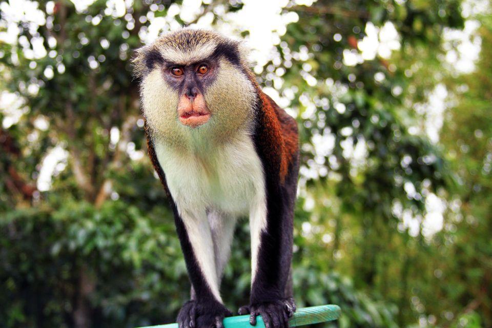 La faune et la flore, mona, cercopithèque, singe, primate, mammifère