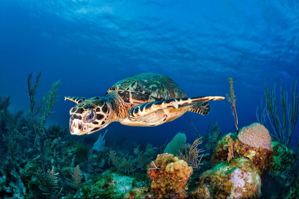 La faune et la flore, Antilles, Caraïbes, mer, reptile, sous-marin, plongée, amérique, grenade, tortue