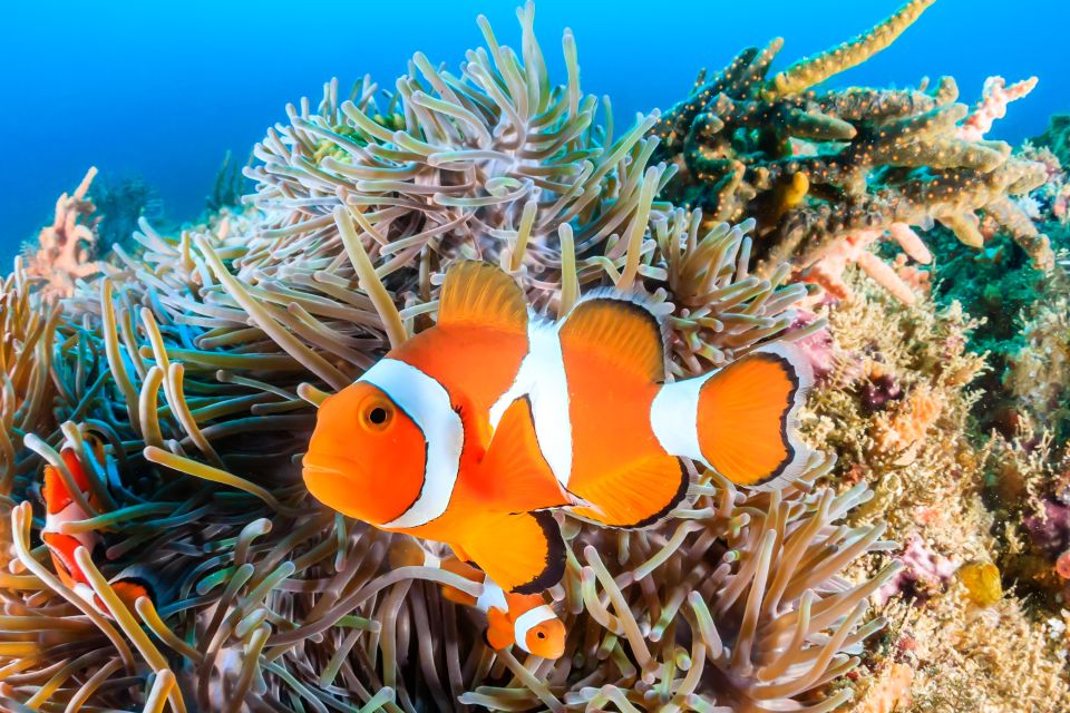 La faune et la flore, Antilles, Caraïbes, mer, poisson, sous-marin, plongée, amérique, grenade, poisson-clown, anémone