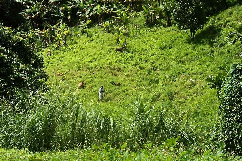 Saint-Vincent , A shepherd in the Buccament Valley , Saint-Vincent and The Grenadines