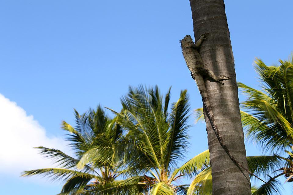 Brotbaum , Leguane auf Palm Island , St-Vincent und die Grenadinen
