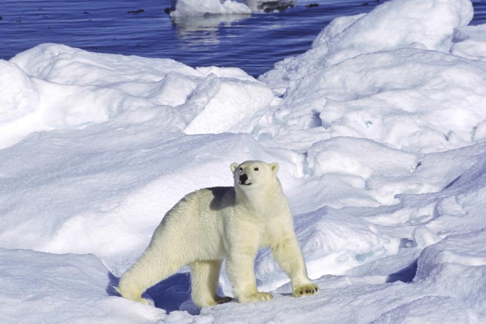 North Pole animals , Greenland