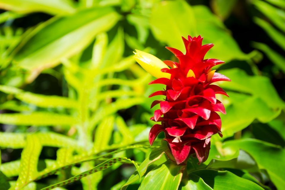 La flore , Les fleurs , Guadeloupe