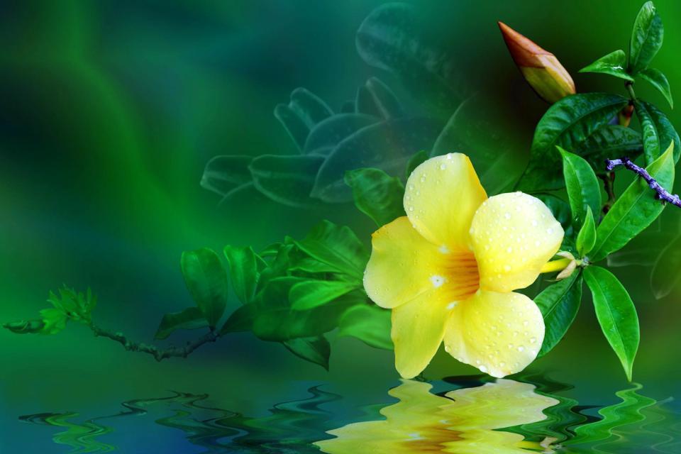 La flore , Alamanda jaune , Guadeloupe