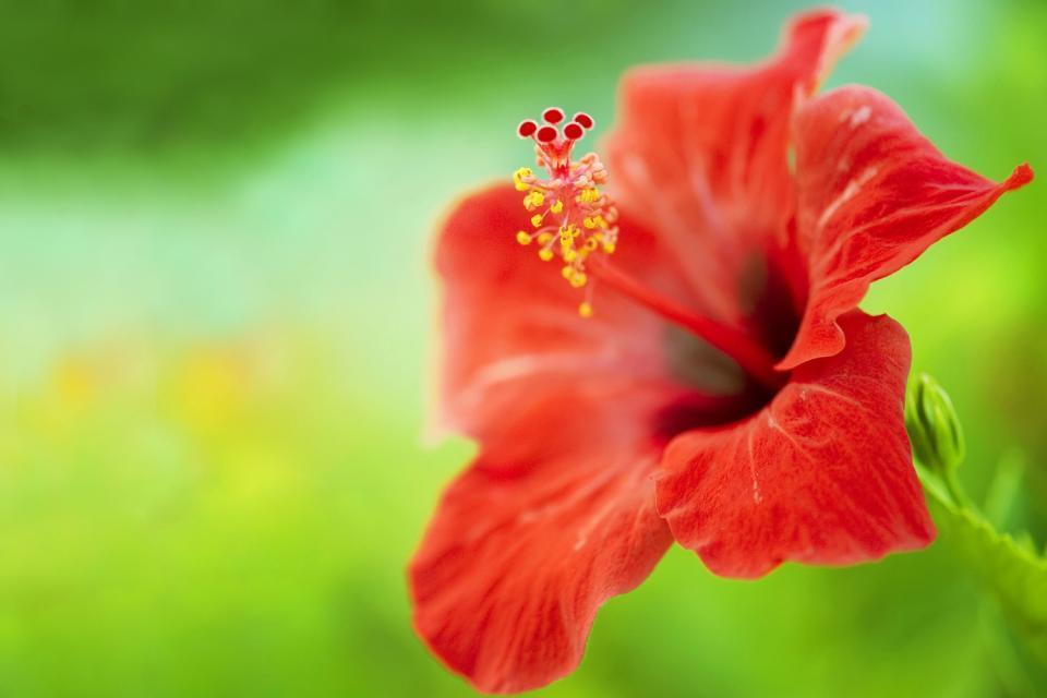 La flore , Hibiscus rouge , Guadeloupe