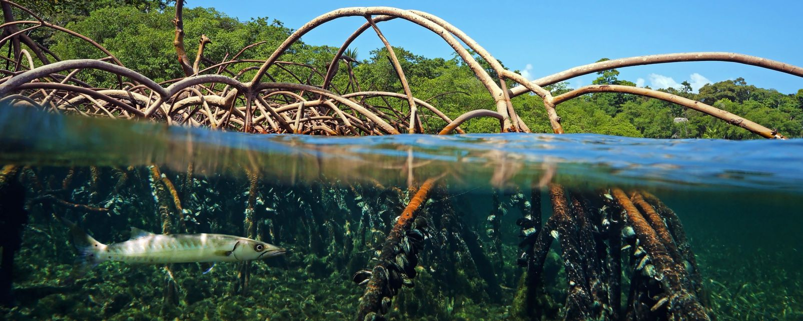 The mangrove, The Mangrove, The fauna and flora, Guadelupe