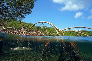 La faune et la flore, flore, végétation, mangrove, palétuvier, nature, antilles, guadeloupe, caraïbes, poisson, faune
