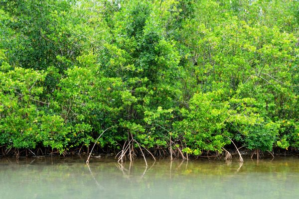A forest on the sea, The Mangrove, The fauna and flora, Guadelupe