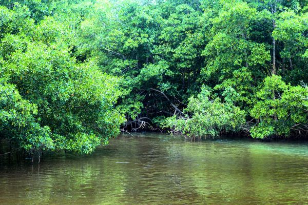 A guided tour, The Mangrove, The fauna and flora, Guadelupe
