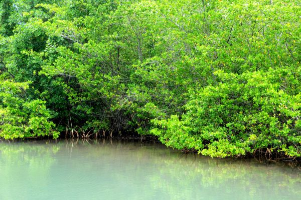 Hundreds of birds, The Mangrove, The fauna and flora, Guadelupe