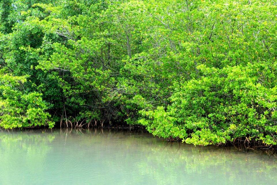 La faune et la flore, flore, végétation, mangrove, palétuvier, nature, antilles, guadeloupe, caraïbes