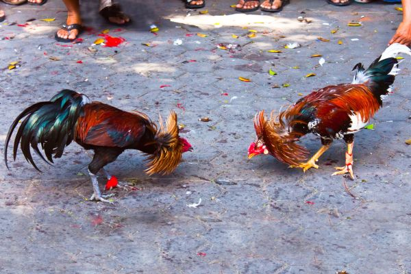Cockfighting, Cockfights, Arts and culture, Guadelupe