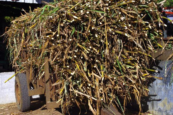 Rum , Harvesting sugar cane , The islands of Guadeloupe