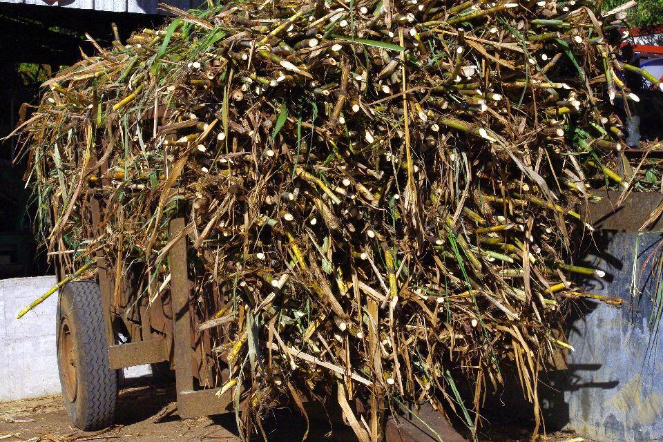 El ron , Recogida de la caña de azúcar , Las ilas de Guadelupe