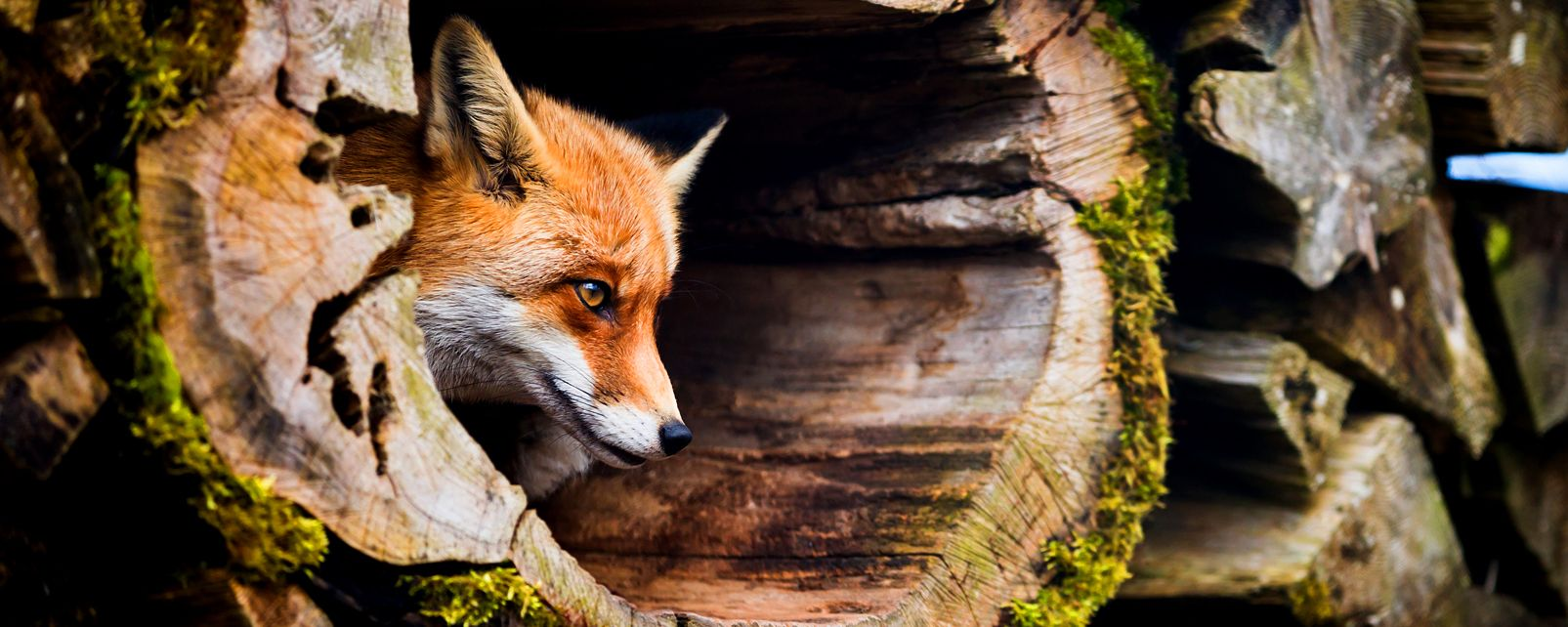 La faune , Renard, Hertfordshire, Angleterre , Royaume-Uni