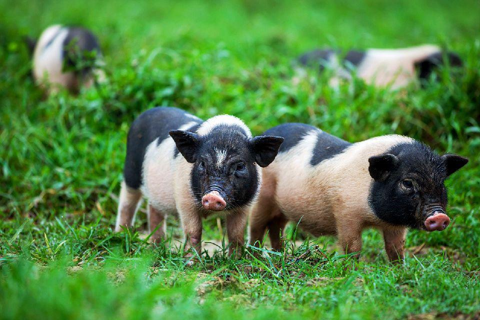 La fauna , Cerdos en los prados, Leicestershire , Reino Unido